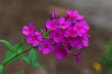 freetoedit flowers wildflower purple