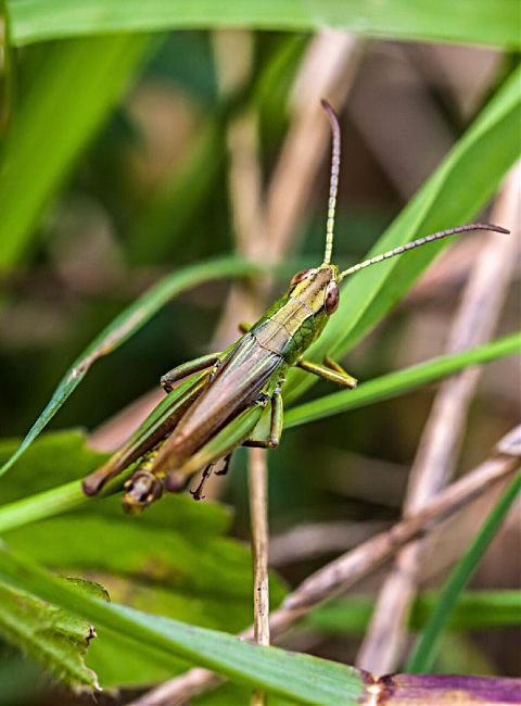 #photography,#nature,#insect,#grasshopper,#green