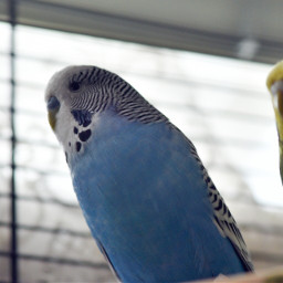 dpcpets budgies wellensittiche photography birds