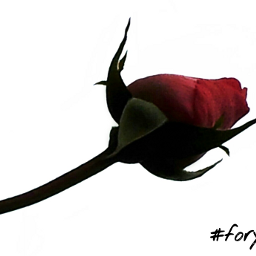 love emotions rosebud dpcflowers valantinesday