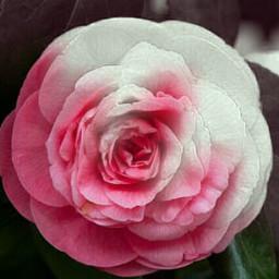 freetoedit rose inspired change