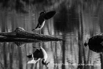 reflection blackandwhite petsandanimals photography wildlife