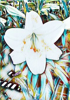 lilly flower hazeeffect colorful white